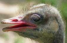 Free Ostrich Profile Stock Image - 1354191