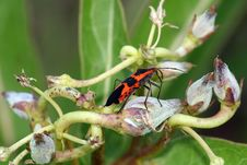 Free Milkweed Bug On Buds Stock Photography - 1354202