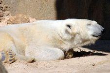 Free Sleepy Polar Bear Stock Photography - 1354242