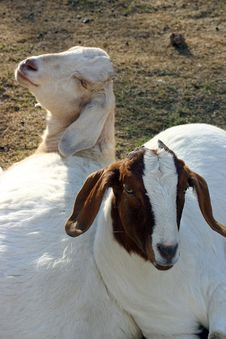 Free Goat Friends Royalty Free Stock Photo - 1354245
