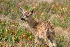 Free A Watchful Fawn Stock Photos - 1354563