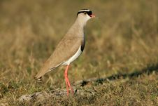 Free Crowned Plover Stock Image - 1355081
