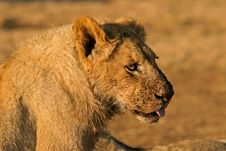 Free African Lion After Feeding Stock Images - 1355084