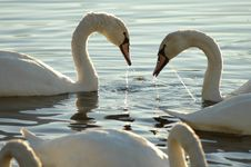 Free Swans 11 Royalty Free Stock Image - 1356526