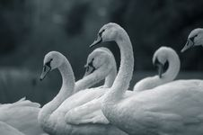 Free Swans 2 Stock Photo - 1356560