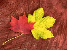 Free Maple Leaves Stock Images - 1357084