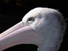 Free Pelican Stock Image - 1357371