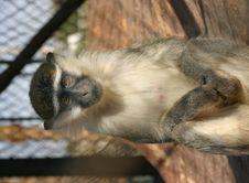 Free Monkey Royalty Free Stock Images - 1358069