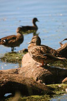 Free Ducks Royalty Free Stock Image - 1358206