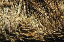 Free Ears Of Barley Stock Images - 1358554