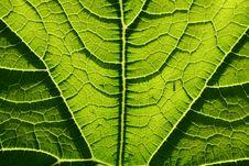 Free Leaf Of Marrow Stock Photos - 1358723