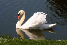 Free Swan Royalty Free Stock Photography - 1359317
