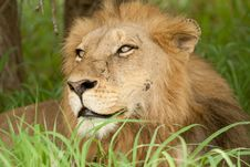 Free Wounded Lion In The Grass Stock Images - 13506094
