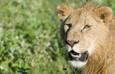 Free Lion Stock Photos - 13514103