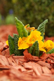 Free Yellow Primulas &x28;Primula Hortensis&x29; Royalty Free Stock Images - 13518739