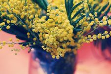 Free Bouquet Of Acacia Flowers Royalty Free Stock Photo - 13518805