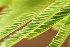 Acacia Leaves Royalty Free Stock Image
