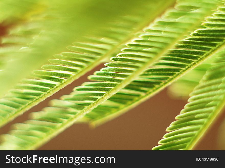 Acacia Leaves Free Stock Images Photos 13518836