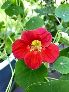 Free Flower, Plant, Annual Plant, Mallow Family Stock Images - 135105854