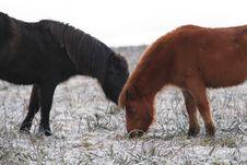 Free A Couple Of Hardy Dartmoor Ponies Stock Photos - 13523343
