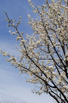 Free Blooming Pear Tree Royalty Free Stock Photo - 13528335