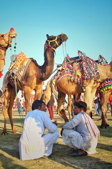Free Two Men Sitting In Front Of Camels Stock Photos - 135265763