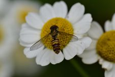 Free Honey Bee, Bee, Flower, Insect Stock Photos - 135310413