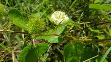 Free Plant, Flora, Crassocephalum, Subshrub Stock Photos - 135310463