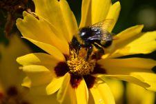 Free Honey Bee, Bee, Flower, Yellow Royalty Free Stock Photos - 135310678