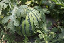 Free Cucumber Gourd And Melon Family, Plant, Winter Squash, Melon Stock Images - 135310684