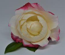 Free Flower, Rose, White, Rose Family Stock Photos - 135310803