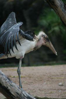 Free Bird, Stork, Marabou Stork, Beak Stock Photos - 135310863
