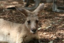 Free Kangaroo In A Zoo Royalty Free Stock Image - 13549516
