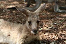 Kangaroo In A Zoo Royalty Free Stock Image