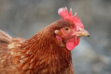 Free Hen - Detail Royalty Free Stock Photo - 13549755