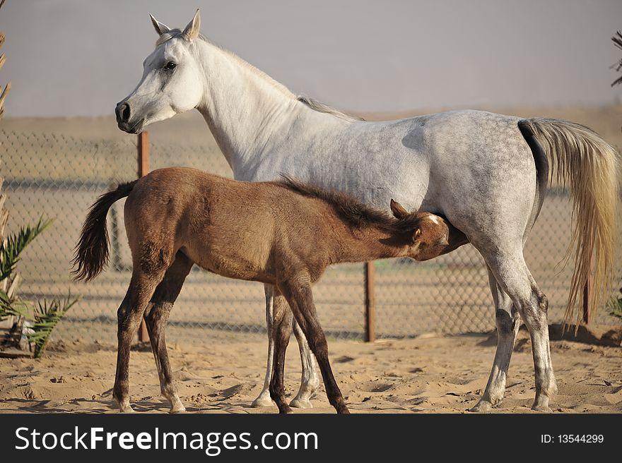 Arabian horse feeding