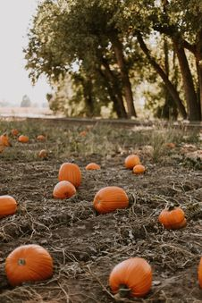 Free Brown Pumpkins On Brown Field Royalty Free Stock Photography - 135444687