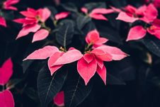 Free Red Poinsettia Flowers In Close-up Photography Stock Photography - 135444782