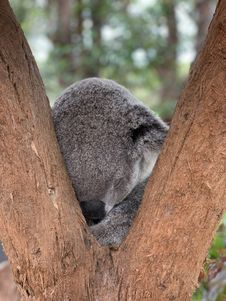 Free Photo Of Koala Bear Sleeping On Tree Royalty Free Stock Photos - 135496668