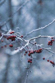 Free Selective Focus Photography Of Red Berries Stock Photography - 135496982