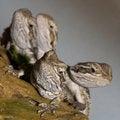 Free Bearded Dragons Stock Photo - 13555530