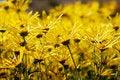 Free Chrysanthemum Stock Photography - 13557102
