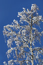 Free Birch In A Snow Royalty Free Stock Photography - 13558107