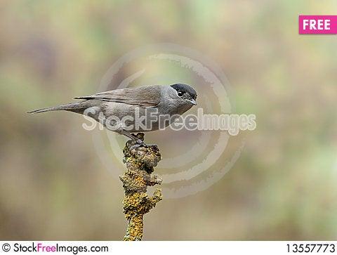 Blackcap - Sylvia atricapilla Stock Photo