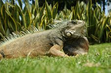 Free Land Iguana Royalty Free Stock Photos - 13550078