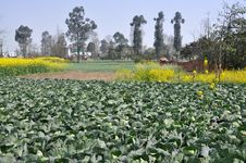 Free Pengzhou, China: Farmlands With Cabbages Stock Image - 13550351