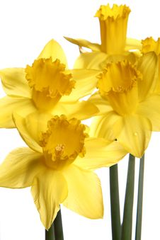 Free Daffodils Royalty Free Stock Photo - 13550535