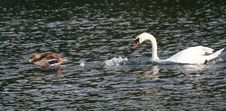 Free White Swan Chases A Duck Stock Photos - 13550623