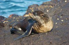 Free Fur Seal Stock Image - 13550791