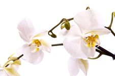 Free White Orchid Stock Photo - 13551140